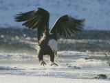 A Northern American Bald Eagle Lunges Down Toward the Water to Grasp a Fish with its Talons