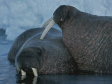 Two Atlantic Walruses Relax in Shallow Water Near an Ice Floe