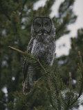 Great Gray Owl in Pelican Valley