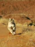 Mountain Lion Running Towards Camera