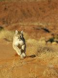 Mountain Lion Running Towards Camera