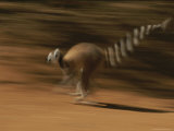 A Time Exposure of a Lemur in Action