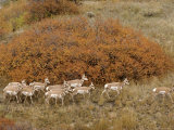 Pronghorn Herd  Yellowstone National Park