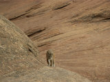 A Mountain Lion Walks on Rock