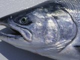 A Close View of the Head of a King Salmon  Oncorhynhus Tshawytscha