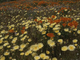 A Close View of California Poppies and Desert Dandelions