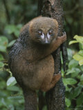 A Red-Bellied Lemur Clings to a Tree Trunk