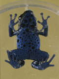 View of the Underside of a Tiny Poison Blue Frog in a Petri Dish
