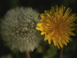 Two Stages of Dandelion Side by Side  Yellow Petals and Seed Head