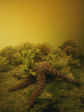An Underwater View of a Starfish in Waters Clouded by a Red Tide