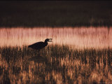 A Silhouetted Egret Captures a Small Crab in the Assateague Marshland
