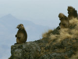 A Family Group of Geladas Sits Near a Cliffs Edge