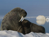 A Female Atlantic Walrus and Her Infant on an Ice Floe