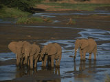 A Group of African Elephants Enjoy the Waters of the Nyiro River