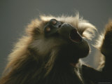 Close View of a Yawning Gelada