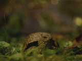 A Close View of a Box Turtle