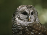 A Close View of the Head of a Barred Owl  Strix Varia