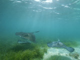 Southern Stingrays Glide Gracefully Through Pristine Waters