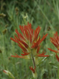 Close View of Indian Paintbrush Flowers