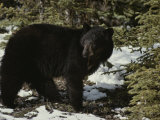 A Black Bear Takes a Look Around