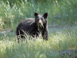 A Black Bear Makes a Meal of Fresh Grass
