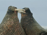 Two Bull Walruses Spar with Their Tusks over Females or Territory