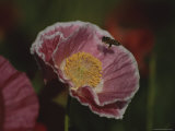 A Bee Carrying Pollen Hovers over a Pink Mallow Flower