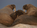Three Adult Atlantic Walruses Gather Together on an Ice Floe