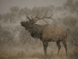 Wapiti  or Elk  Male Amidst Falling Snow