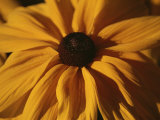 A Close View of a Black-Eyed Susan Flower Side-Lit at Dawn