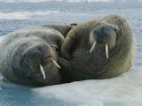 Two Atlantic Walruses Rest on an Ice Floe