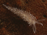 A Close View of a Red-Gilled Nudibranch  Coryphella Rufibranchialis