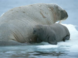 A Baby Walrus  Odobenus Rosmarus  Rests Near Mom During Nursing