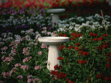 Bird-Baths Surrounded by Colored Geraniums