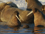 Atlantic Walruses Bask in the Sun Near an Ice Floe