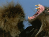 A Male Gelada Bares His Teeth and Gums