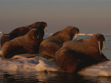 Four Walruses Rest on an Ice Floe