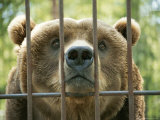 A Huge Grizzly Bear Looks Straight Through the Bars of His Cage