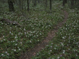 Multitudes of Large-Flowered Trillium Flowers Bloom Beside a Trail