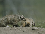 Young American Badgers  One Carrying Prey in its Mouth