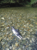 A Dead Chum Salmon  Oncorhynchus Keta  Lies on a Rocky River Bottom