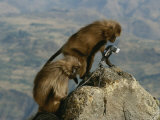 Two Curious Female Geladas Inspect a Remote-Camera Set-Up