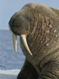 A Close up of an Adult Atlantic Walrus Showing the Tusks and Whiskers