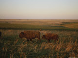 Bison Grazing in the Tallgrass Prairie Preserve in the Osage Hills