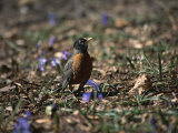 The First Robin of Spring Searches for Worms