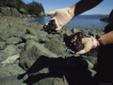 A Scientist Holds Oil-Covered Rocks Pulled from a Crevice