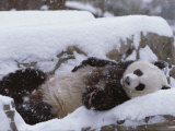 A Panda in the Snow at the National Zoo in Washington  Dc