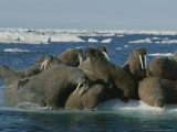 Atlantic Walruses Gather Together on an Ice Floe