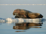 A Mother Walrus Gives Her Infant a Flipper Hug and a Tusk Rub