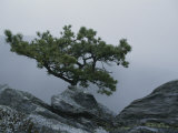 A Pine Tree Clings to a Rocky Ridge Overlooking the Shenandoah Valley